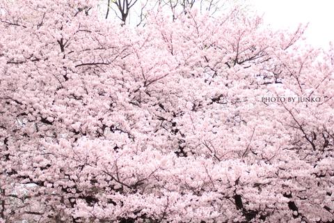 日本一早いお花見をしよう!Flowers by Naked